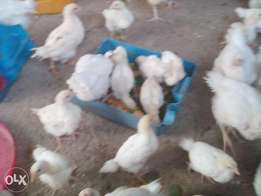 CHI (Ajanla) chicken day old and 4 weeks for sell across the Nation
