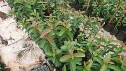 Gauva and Mango plants for sale