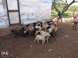 Mixed sheep and dopa sheep best meat for nyamachoma. Soft tasty meat