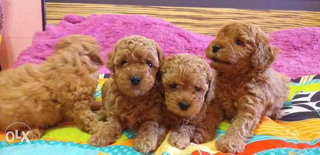 Toy poodle import