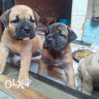 Boerboel puppies are available for sale