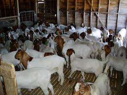 Beautiful and Healthy boer goats for sale