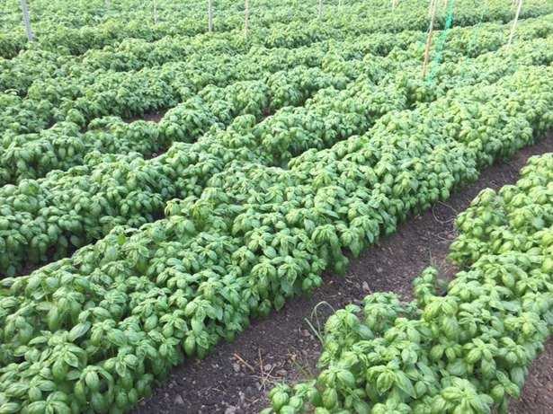 Fresh organic sweet Basil in Juja Farm only 250 per kg Thika - image 2