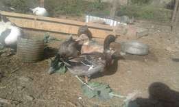 Mature Mallard ducks