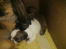 Peggenesse puppys for sale