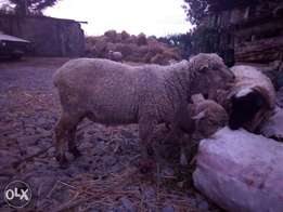 70kg sheep for sale