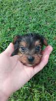 2x male yorkie puppies for sale