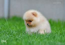 Teacup pomeranian, imported