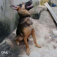 Female Gsd for sale