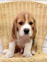 Beagle puppies, imported from Ukraine.. Best quality with Pedigree