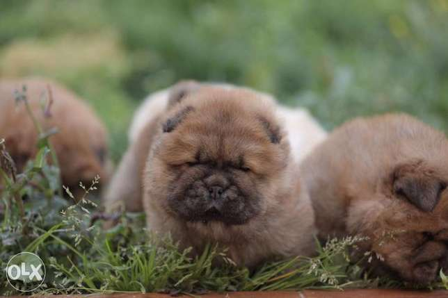 Chowchow puppies, with all documents..