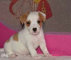 Reserve ur imported jack Russell puppy with all documents, top quality