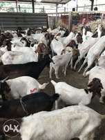 Goats for sale Wholesale and retail