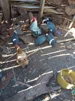 Domesticated helmeted Guinea fowl are off for sale