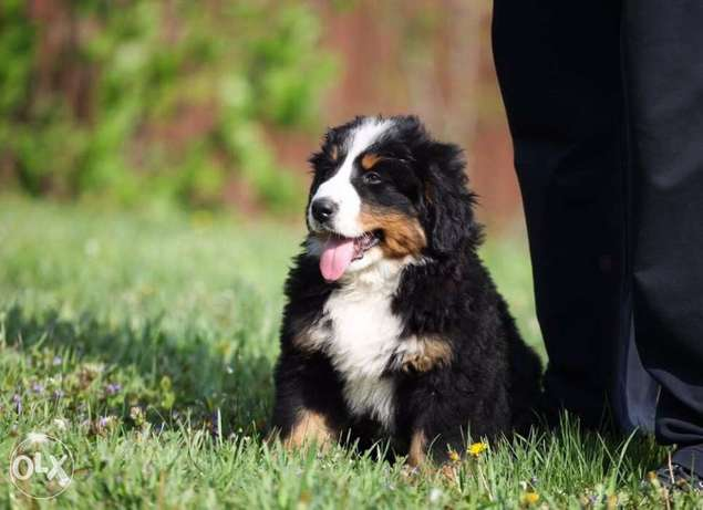 Imported mountain bernese puppies