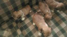 Lhasa Apso available for Sale