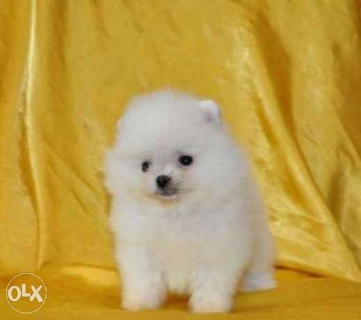 Reserve ur imported teacup pomeranian puppy from Ukraine with Pedigree