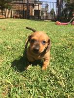 Dachshund dapple puppy