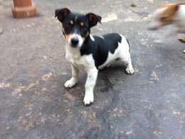 Jack Russel Male Puppy 6 Months Old R500,