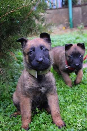 Imported Malinois Puppies, top quality with Pedigree