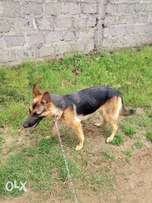 Mature GSD female for sale