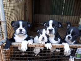 Male Boston Terrier Puppy for Sale