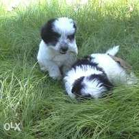 Black and white pet puppies