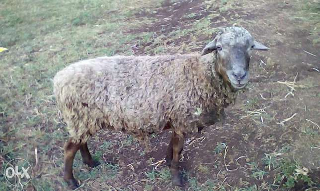 Corriedale sheep Kabirer - image 1