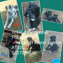 "Great dane puppy's """"easter sale"""""