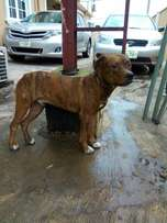 Solid Male Brindle Pit Bull Terrier!!!