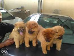 Pure breed Chow Chow puppies are available for sale