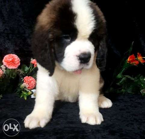 """Imported Saint Bernard Giant Size """"Top Quality with all documents"""""""