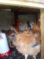 Kenbro chicken for sale