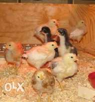 Vaccinated two weeks old kienyeji chicks available