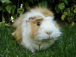 healthy golden and white cute Guinea pigs South 'C' - image 1