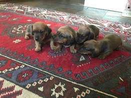 Smooth-haired Miniature Dachshund Puppies