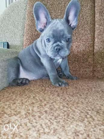 Top quality blue French Bulldog puppies, with all documents
