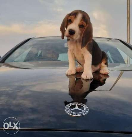 Get your adorable Beagal dog now!