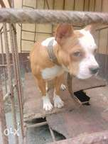 8months old male pitbul for sale