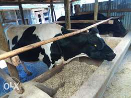 Best Quality Cross Dairy Cow's Breeds