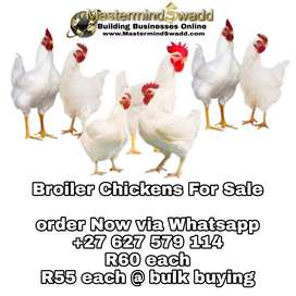 Super sized cheap broiler chickens