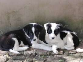 Border Collie Male Puppies