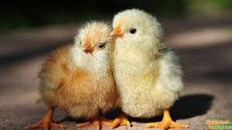 Цыплята Бройлеры, Мясояичные суточные (Венгрия) в Кривом Роге