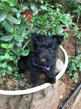 Female Scottish Terrier