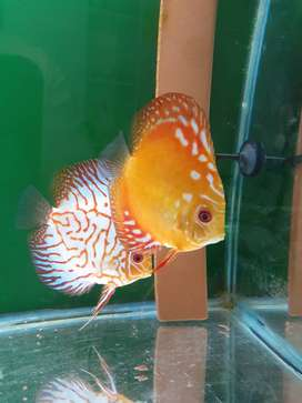 Various Discus fish for sale