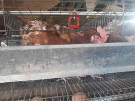 Two year old laying hens for sale.