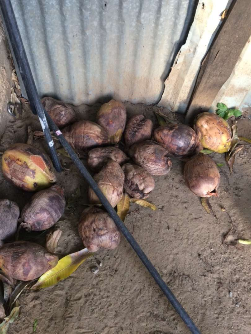 Fully matured brown coconuts 0