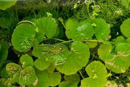 Wąkrotka Białogłowa łatwa szybkorosnąca roślina do akwarium.
