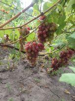 Продам чубуки ,саженцы и гроздья винограда