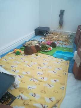 4 Tame and loving guinea pigs in need of a loving owner.
